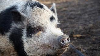 Собствениците на евтаназирани прасета във Варненско ще бъдат обезщетени с близо 30 хил. лв.