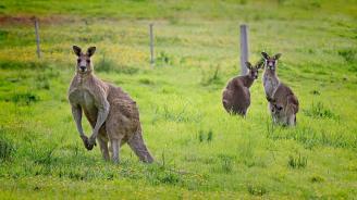 Палеонтолози установиха кога кенгуруто е започнало да подскача
