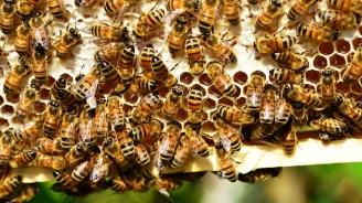 Пчелите могат да събират и изваждат