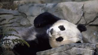 Дете падна при пандите в китайски зоопарк (видео)