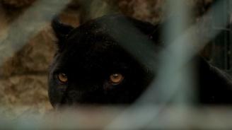 Черна пантера е била видяна в Африка за пръв път от 1909 г. насам