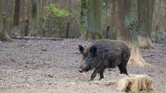 Нов случай на Африканска чума по дивите прасета
