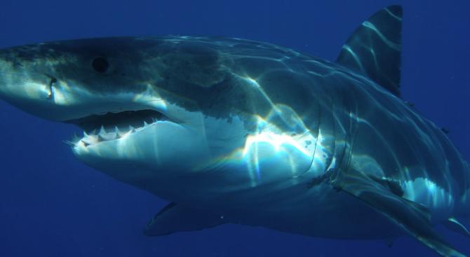 Снимка: ДНК изследване разкрива тайните на голямата бяла акула