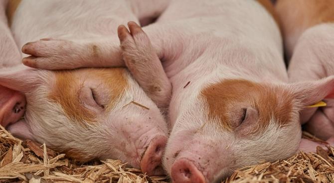 В свиневъдните комплекси в Добричка област се спазват стриктно мерките