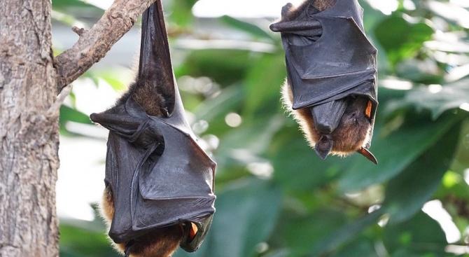 Международен научноизследователски екип откри два непознати досега вида прилепи -