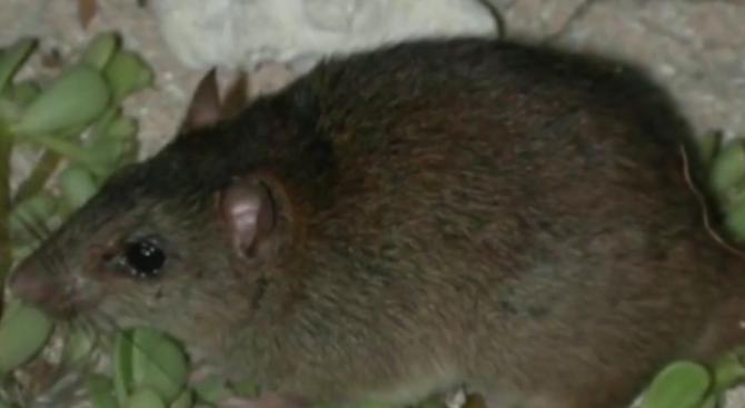 За първи път бозайник изчезна заради глобалното затопляне. Малък кафяв