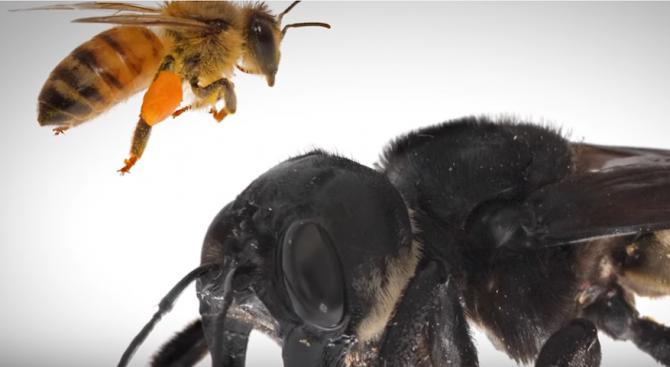Учени отново откриха в Индонезия екземпляри от най-голямата пчела в