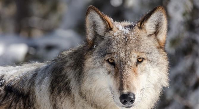 Снимка: Естонци спасиха вълк от леда, мислейки го за куче