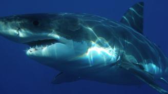 ДНК изследване разкрива тайните на голямата бяла акула