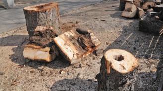 Горски служители разкриха незаконна сеч на 36 дървета от бял бор