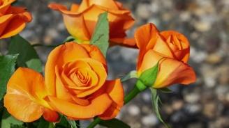 В Пловдив засаждат стотици нови рози по булевардите