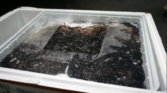 Митничари спряха контрабанден износ на 200 кг бебета-змиорки от застрашен вид