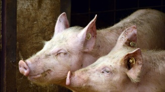 Областна епизоотична комисия набеляза мерки срещу разпространение на африканска чума по свинете