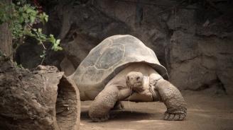 Смятана за изчезнала гигантска костенурка беше открита на Галапагоските острови