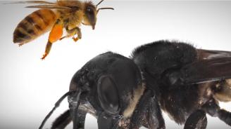 Учени откриха гигантска пчела, смятана за изчезнала