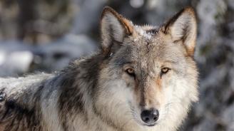 Естонци спасиха вълк от леда, мислейки го за куче