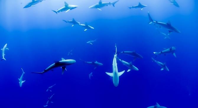 Биолози идентифицираха нов вид акули след 30-годишни изследвания