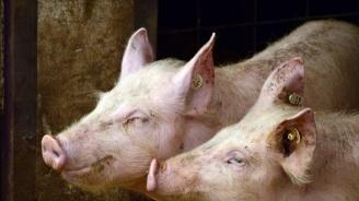 Само 20 стопанства в Русенско гледат прасета според изискванията