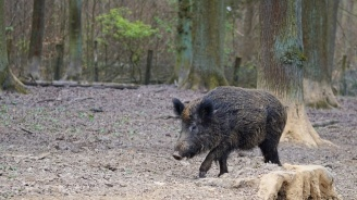 Нов случай на Африканска чума при дива свиня в област Добрич