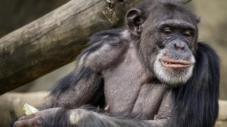Шимпанзета изготвяли инструменти за лов на храна