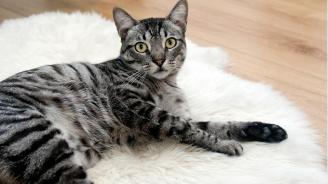 Китайка направи пластична операция на котката си за 1000 долара