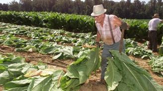 """Тютюневи растения функционират като """"биореактори"""" за производството на човешки протеин"""