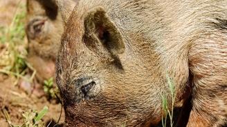 Броят дивите прасета във Варненска област
