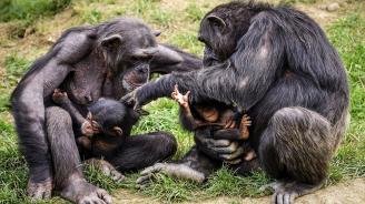 """Специалисти изследват """"културните традиции"""" на шимпанзетата"""