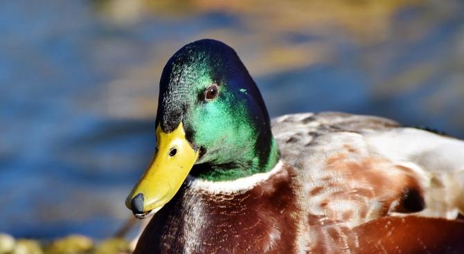 Откриха птичи грип в развъдник в ловешко село