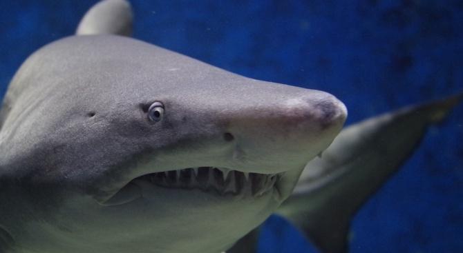 Турски рибари хванаха 500-килограмова акула в Средиземно море
