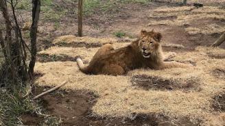 4 циркови лъва се завърнаха в Южна Африка