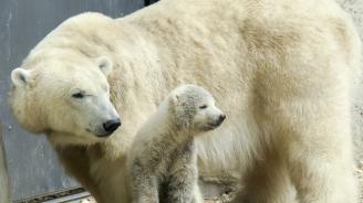Зоологическата градина в Берлин представи бялото си мече