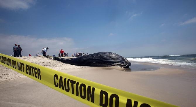 40 килограма пластмаса бяха открити в стомаха на мъртъв кит,