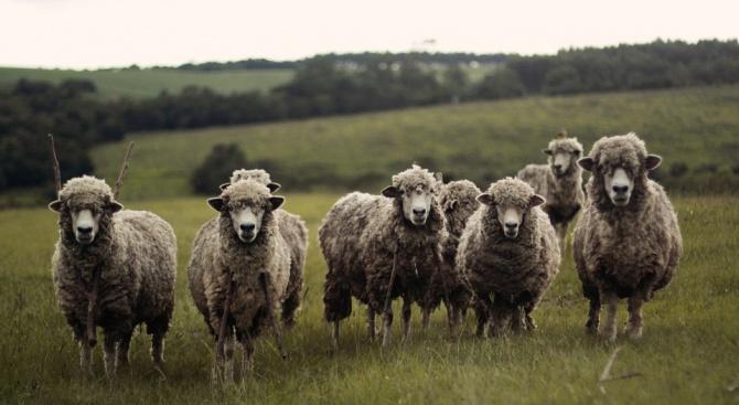 Учени оплодиха овце с 50-годишна сперма