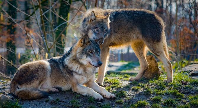 Отдавна е доказано, че съвременните домашни кучета произлизат от вълци.