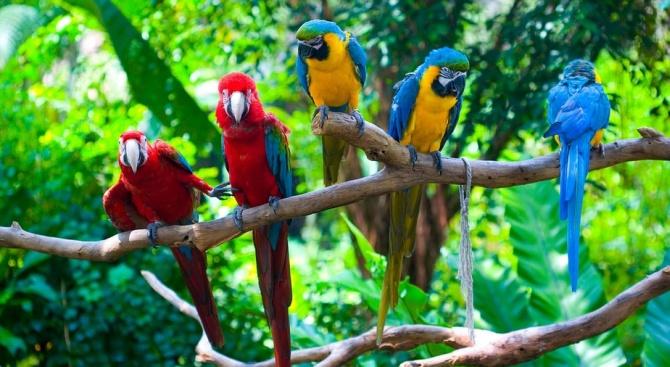 Папагали-наркомани провалят опиумната реколта в Индия