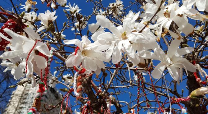 Магнолиите в центъра във Варна разцъфтяха в красиви розови и