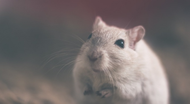 """Американски учени от института """"Скрипс"""" успяха да излекуват опитни мишки"""