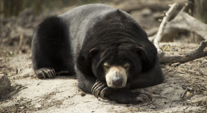 Малайските мечки имитират лицевите изражения на други екземпляри от вида,
