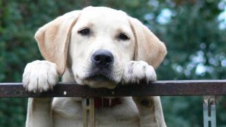Лабрадор ретривърите са любимата порода кучета в САЩ