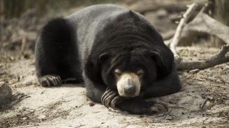 Малайските мечки имитират лицевите изражения на посестримите си