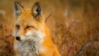 БАБХ започва ваксинацията на дивите животни срещу бяс