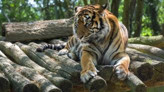 Показаха три бебета суматрански тигри в Сидни