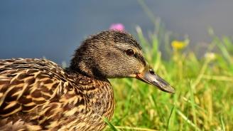 БАБХ констатира Инфлуенца по птиците в село Йоглав