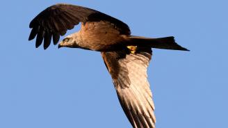 Царски орел беше убит от свои събратя при борба за гнездо и територия
