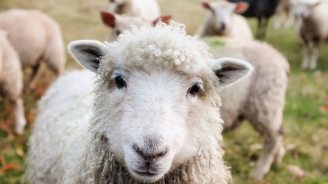 Драстично намаляват стадата овце в България
