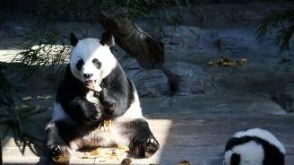 Датската кралица Маргрете открива ограждение за китайски панди в Копенхаген