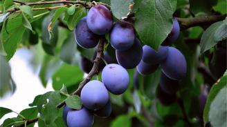 Експерт прогнозира провал за плодовата реколта