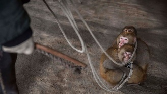 Китайски учени имплантираха човешки мозъчен ген на маймуни