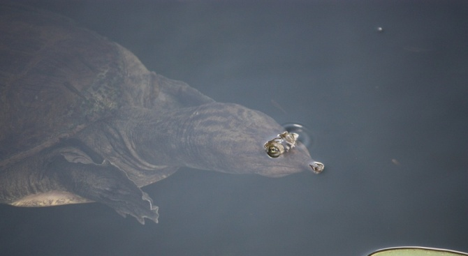 Единствената костенурка от изключително редкия вид Шанхайска мекочерупчеста костенурка, за